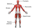 Superficial anterior muscles
